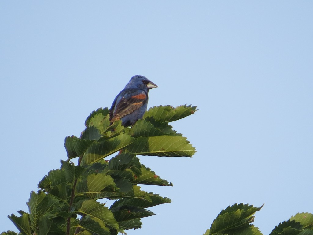 Blue Grosbeak at the Danube Brush Site