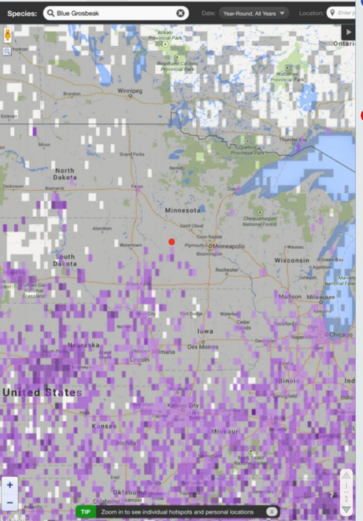 The red dot is where we live.  Blue Grosbeaks have traditionally been found in just the very southwestern corner of Minnesota which is much less territory than what this sightings map indicates