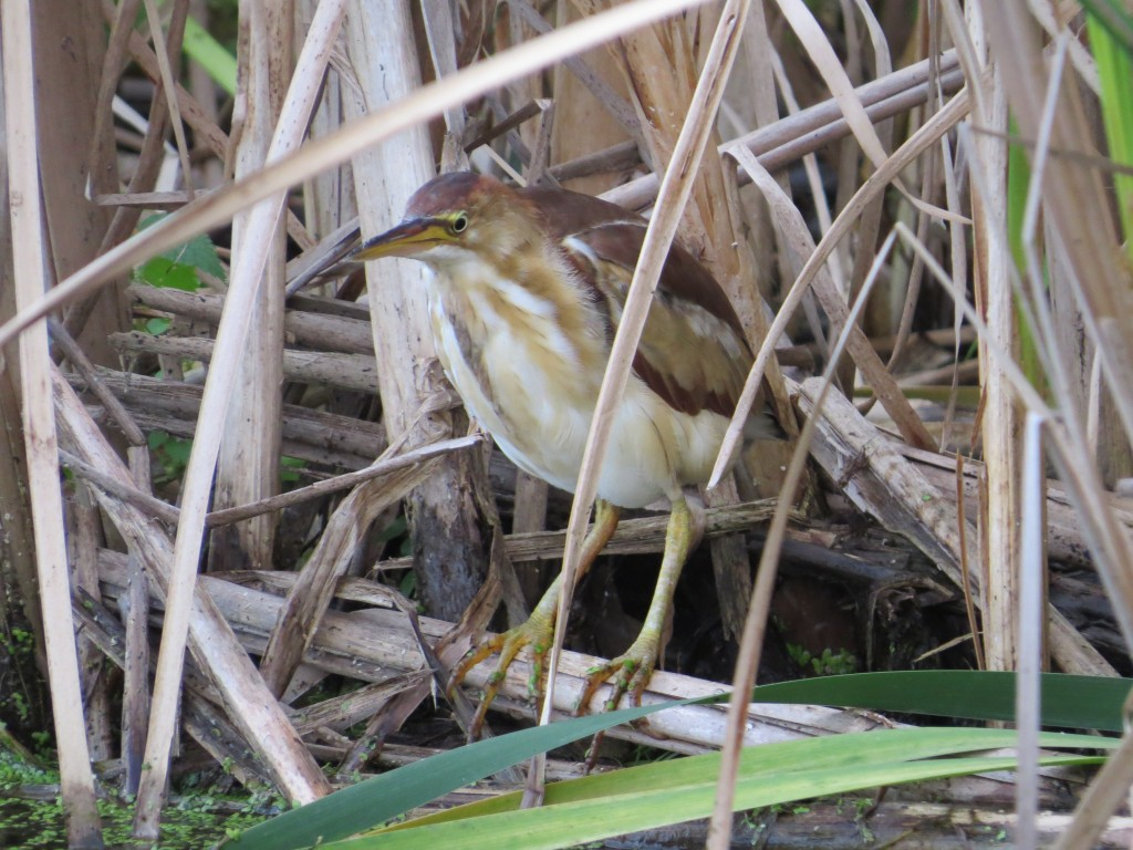 Least Bittern at Wood Lake Nature Center in Richfield