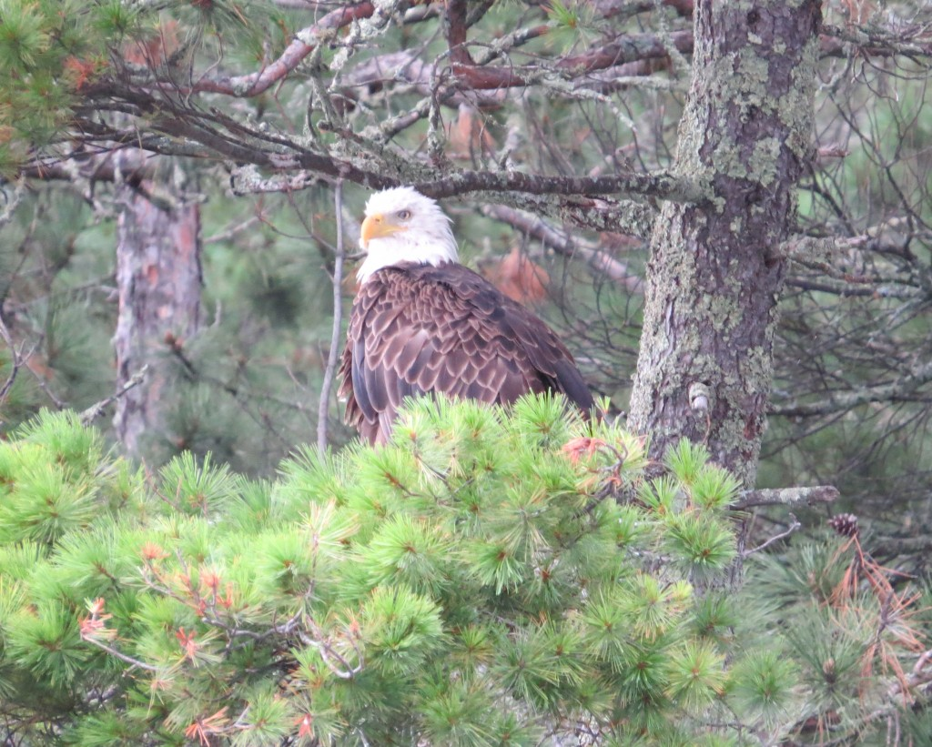Bald Eagle on Lake Vermilion
