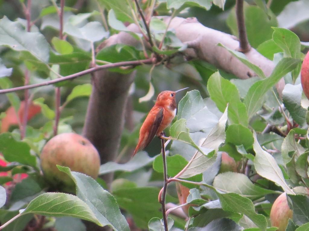 Rufous Hummingbird in Le Sueur, Minnesota