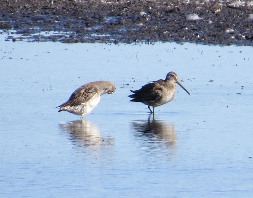 Long-billed and Short-billed Dowitcher
