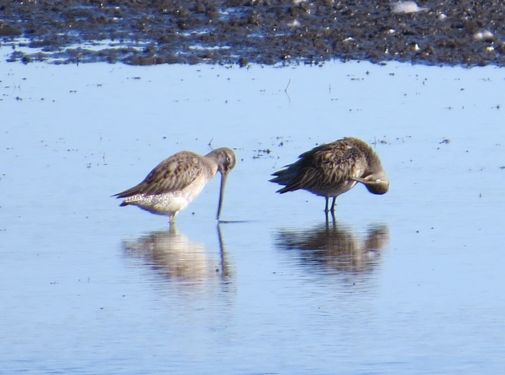 Long-billed Dowitcher and Short-billed Dowitcher Lifers!