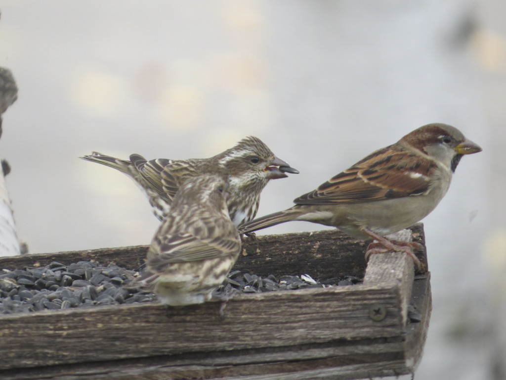 Purple Finch females and House Sparrow male