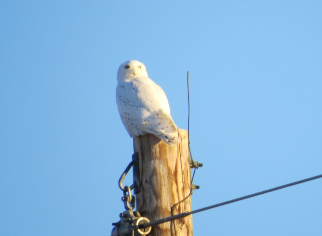 Snowy Owl -Willmar