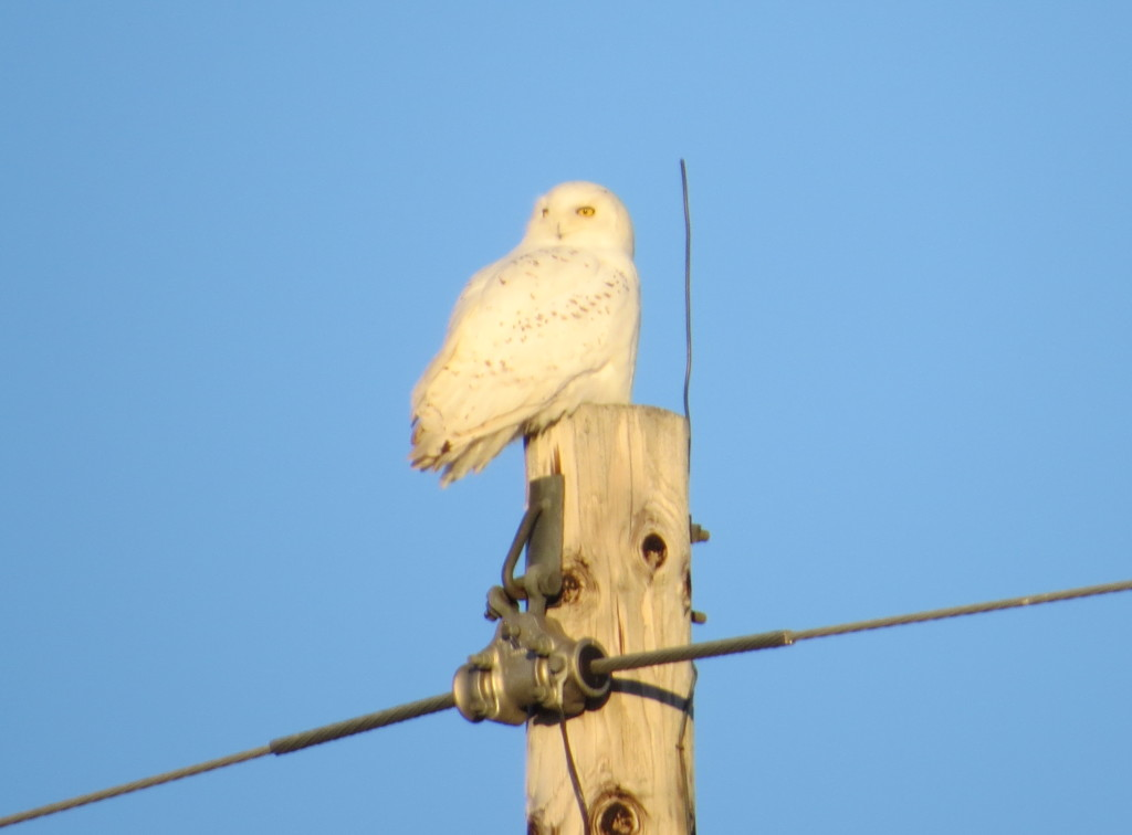 Willmar Snowy Owl