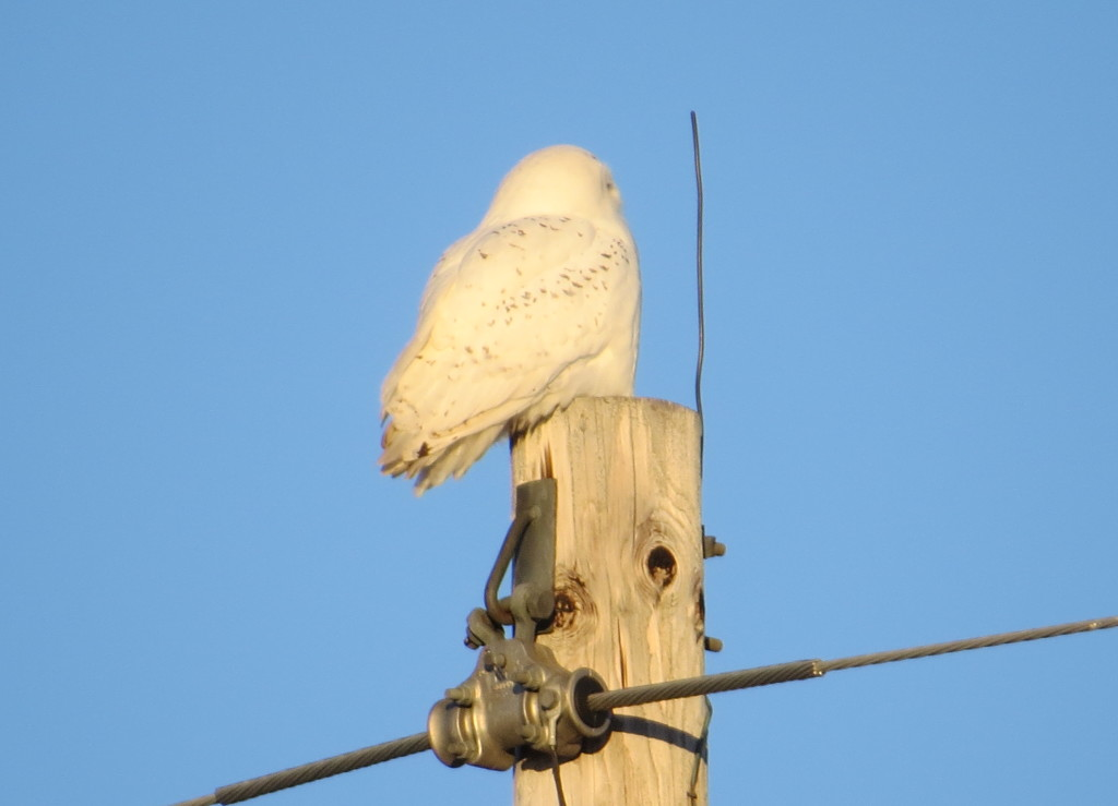 Snowy Owl Willmar
