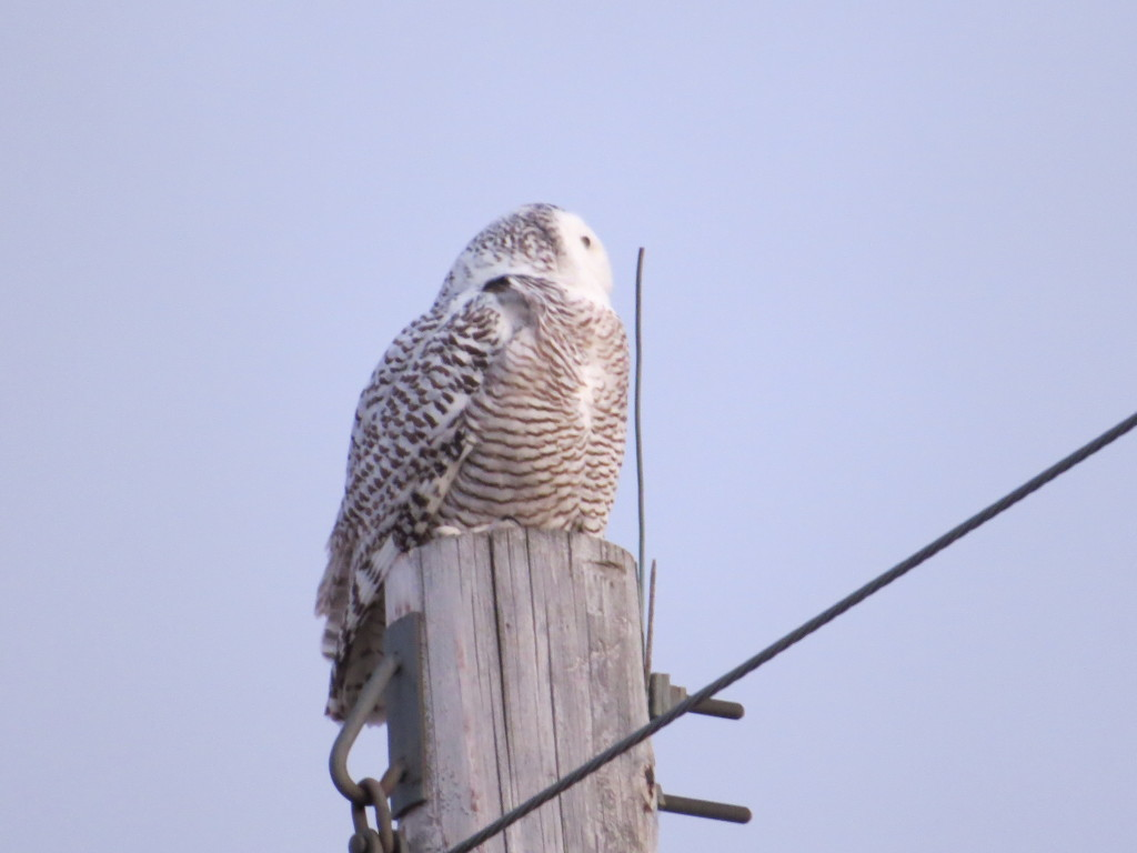 Willmar Snowy Owl