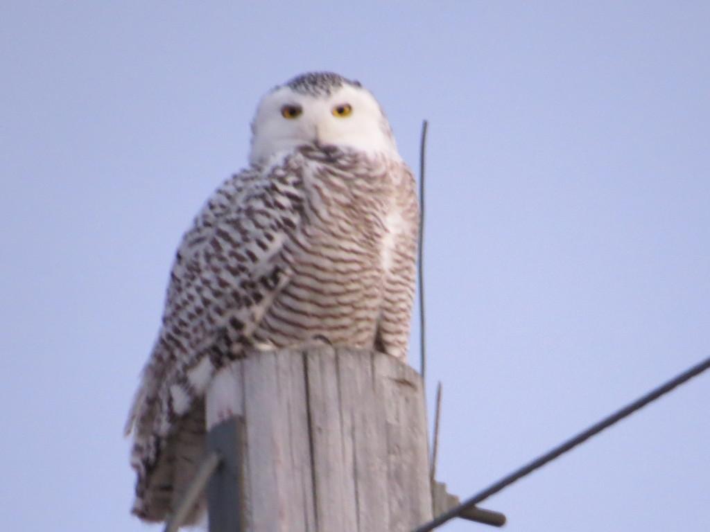 Snowy Owl Willmar