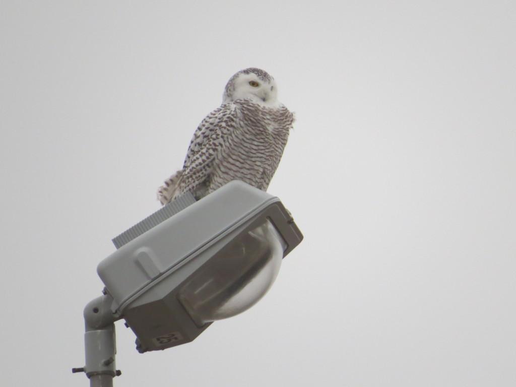 Wilma Snowy Owl