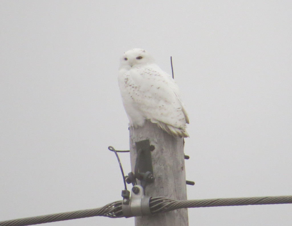 William Snowy Owl
