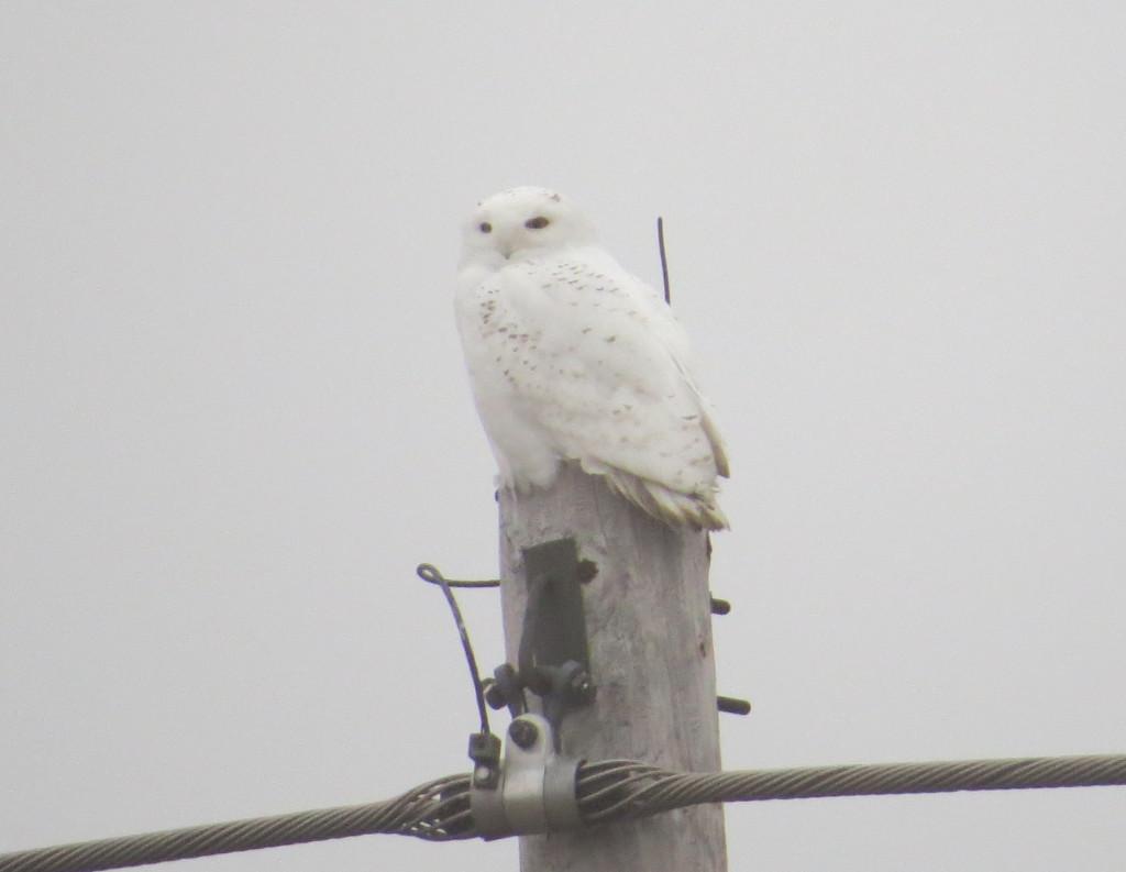 William Snowy Owl