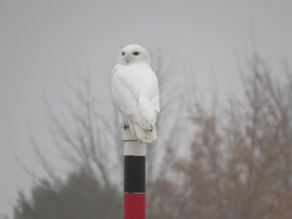 Wilbur Snowy Owl