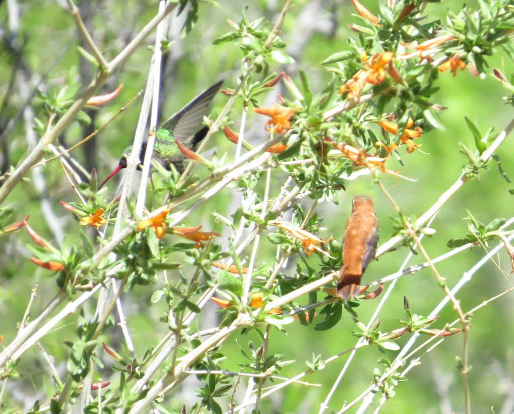 Rufous Hummingbird Broad-billed Hummingbird
