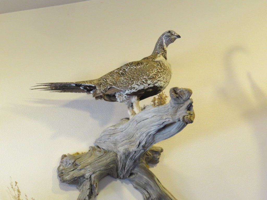 Sage Grouse Taxidermy