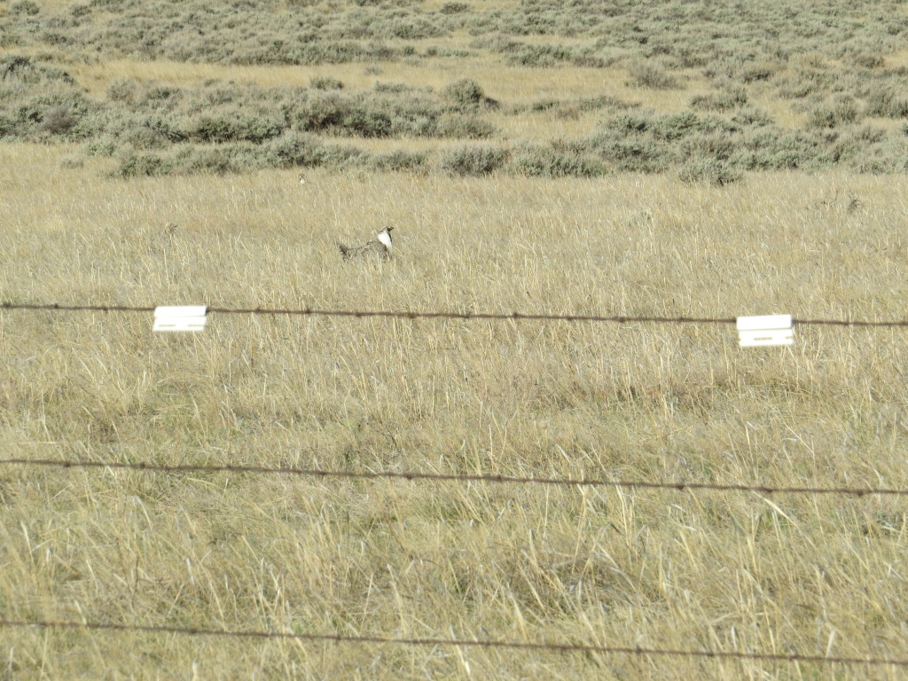 Fences in high-risk areas of Sage-Grouse habitat are marked to reduce collisions.