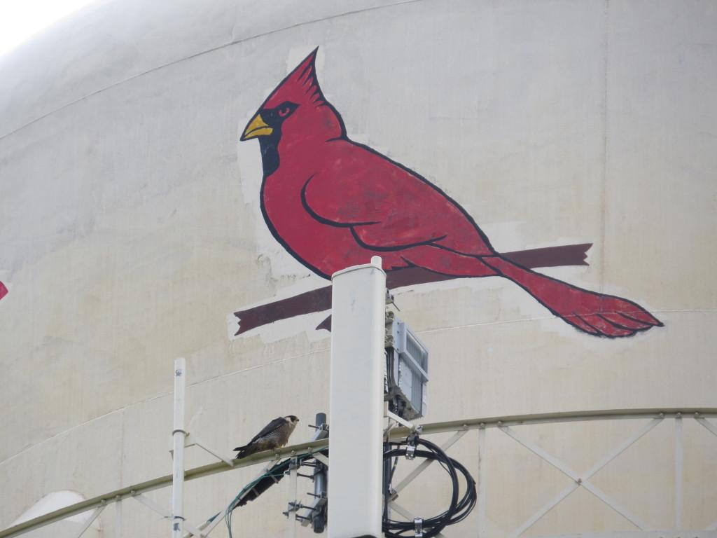 Falcon Cardinal