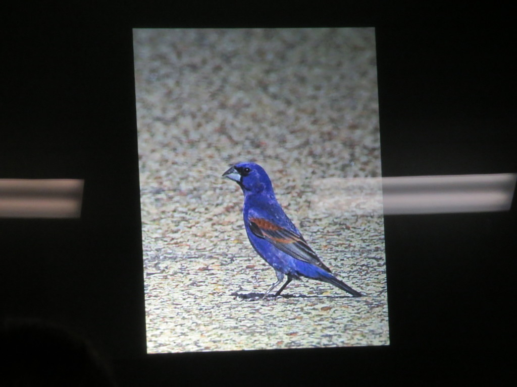 """Blue Grosbeak!"" -Evan"