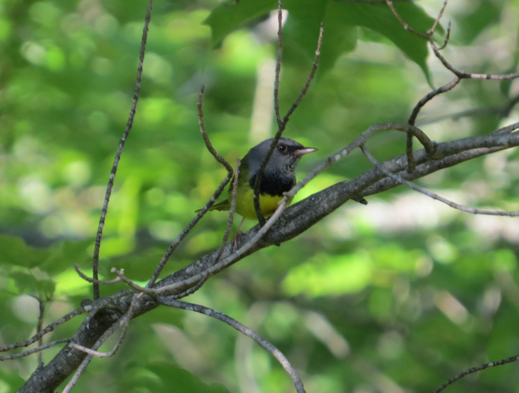 The Mourning Warbler gets its name from its black bib--a symbol of mourning.