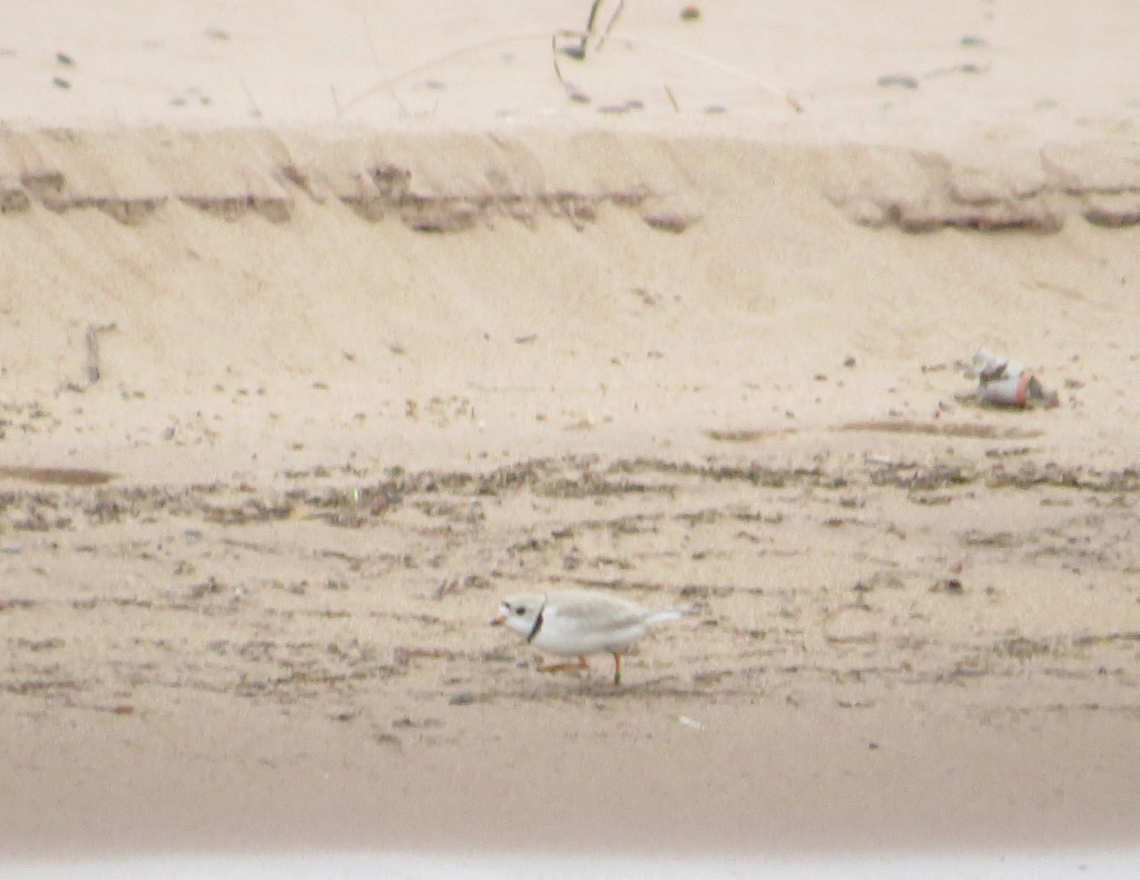 Piping Plover male