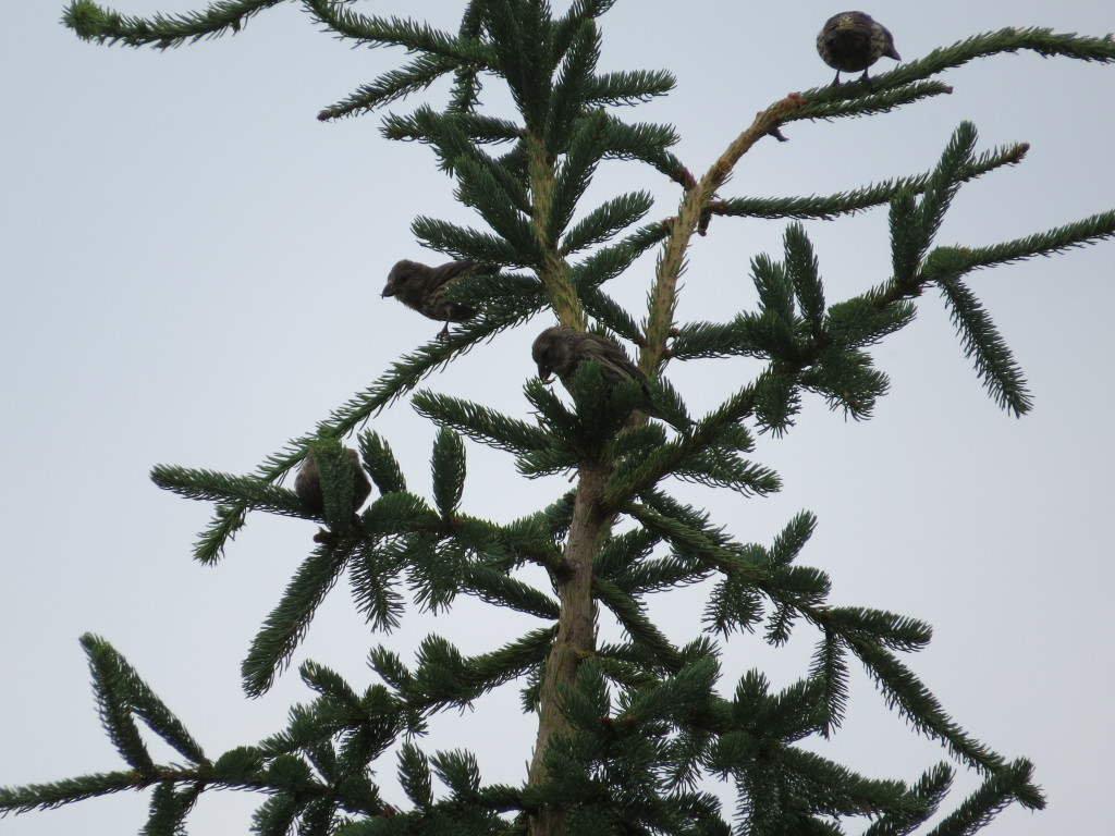 Red Crossbills