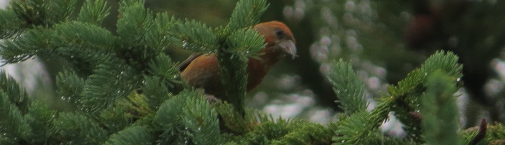 Red Crosbill