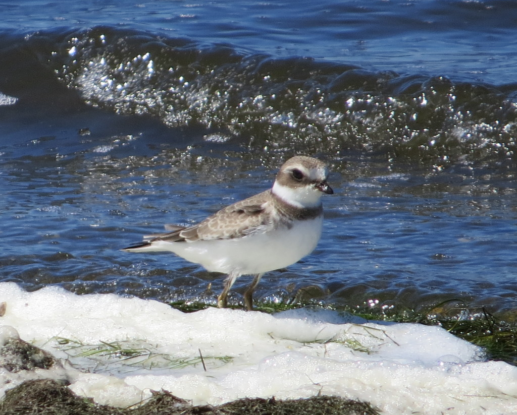 Semipalmated Plover at Bird Island WTP