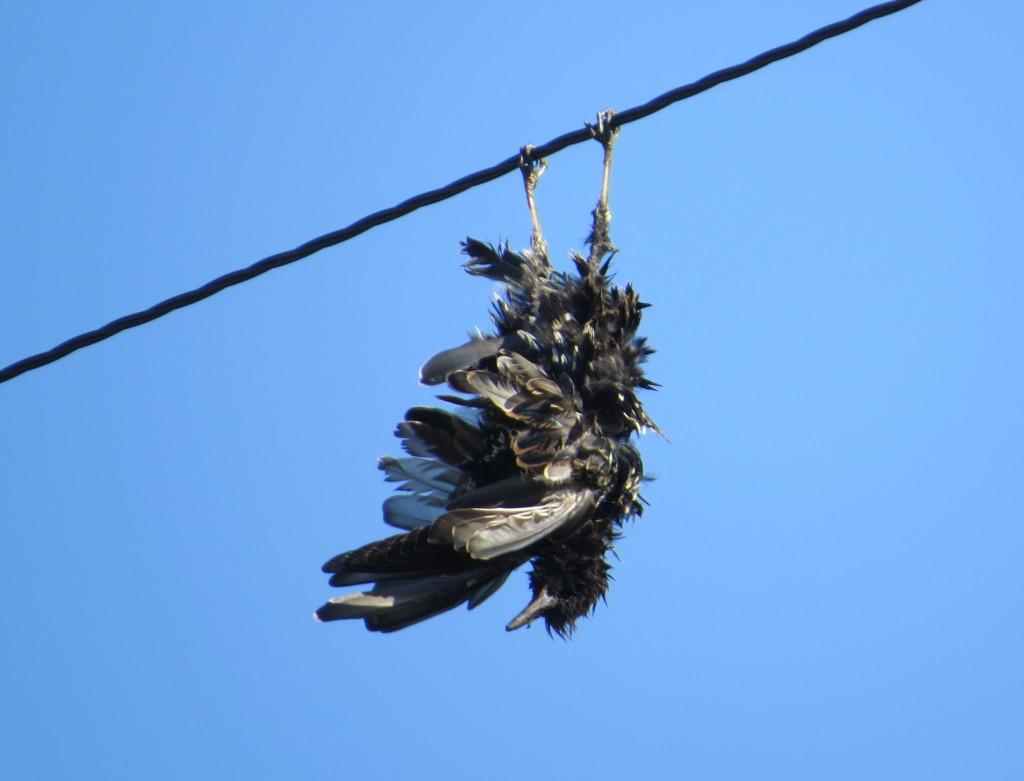 Dead Starling