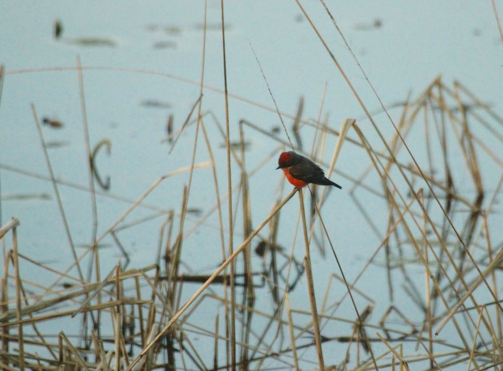 Becker County Vermilion Flycatcher #2; Photo by John Richardson