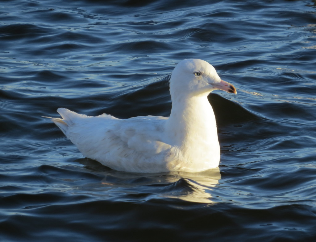 Glacous Gull