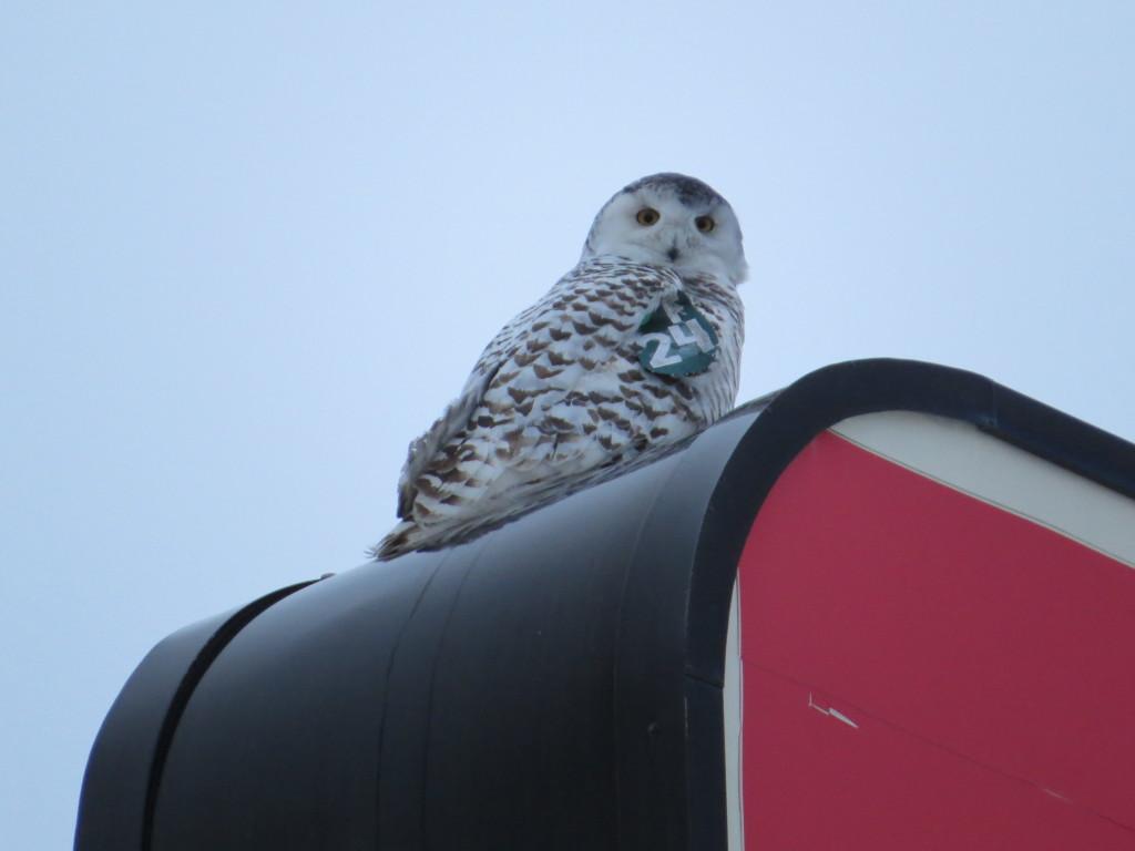 Snowy Owl Superior