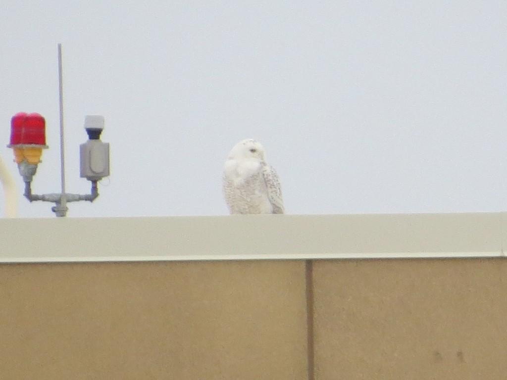 Snowy Owl MSP