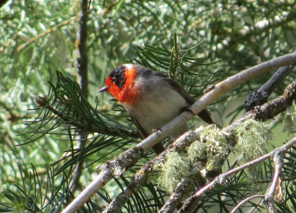 Red-faced Warbler