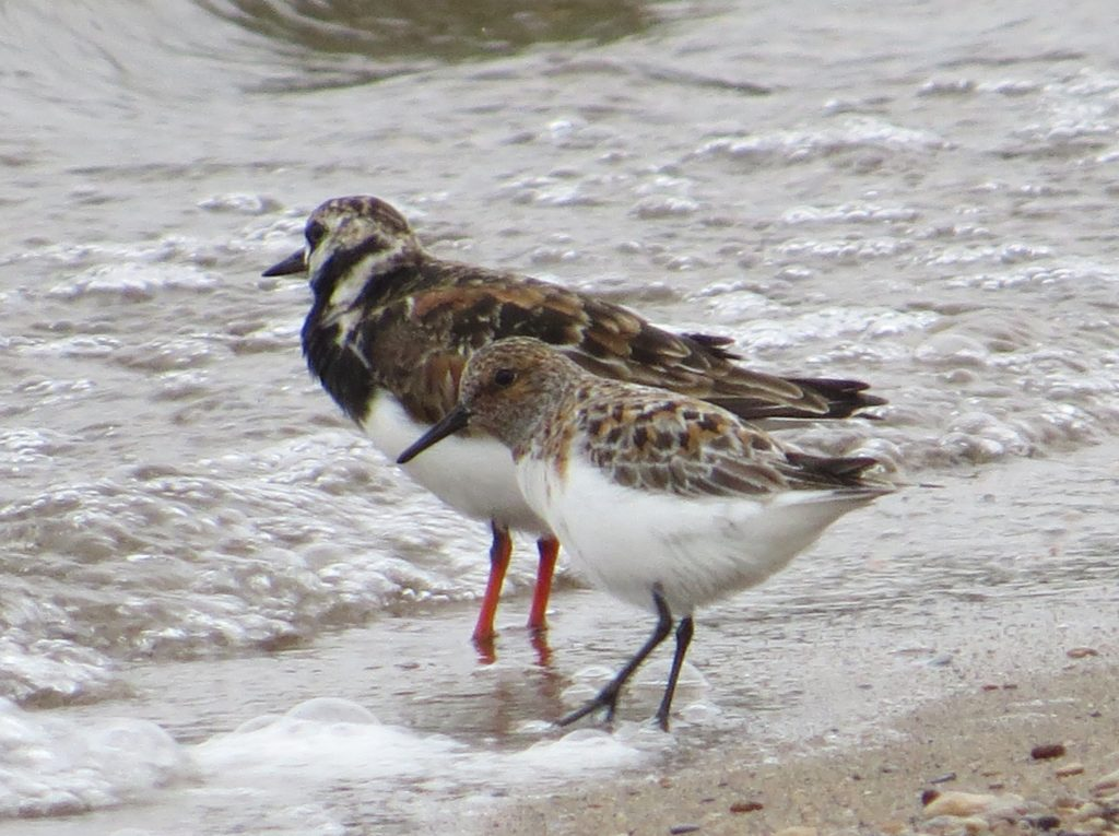 Sanderling Ruddy Turnstone