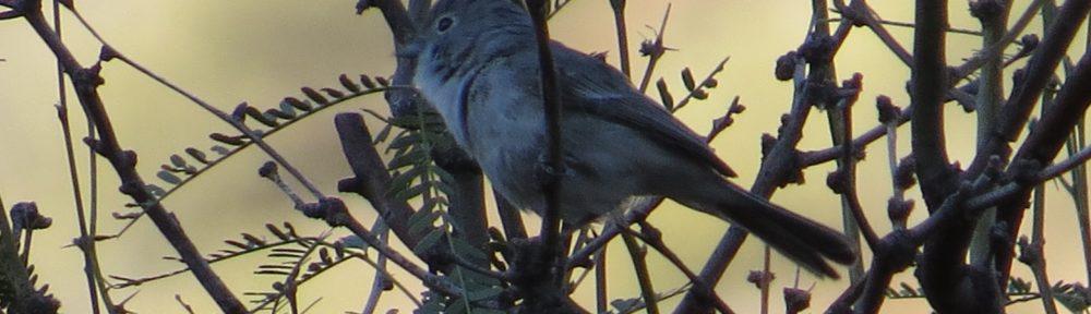 Gray Vireo
